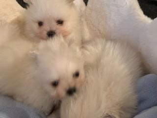 Filhotes de cachorro Pomeranian impressionantes da xícara de chá para a adoção