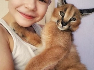 Gatinhos registrados Serval e Savannah e caracal