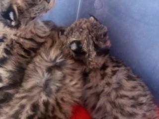 Usado gatinhos disponíveis savana e serval e caracal