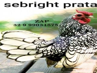 Ovos galados férteis da raça galinha sebright prata e dourado ? zebraite para chocar mini galinhas miniaturas
