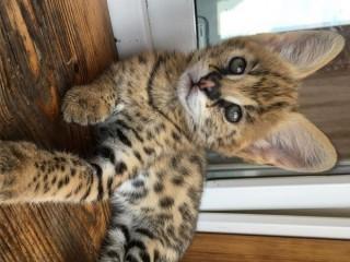Gatinhos Savannah e serval caracal e Ocelot disponíveis