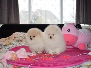 Filhotes de Pomerânia para adoção