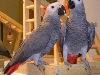 Papagaios cinza africanos machos e fêmeas para adoção