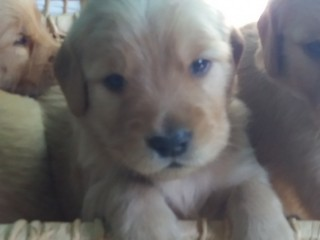 Vende-se Lindos Filhotes Golden Retriever